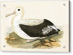 Wandering Albatross Acrylic Print by English School