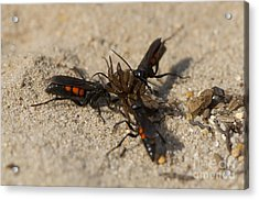 Wasps With Spider Acrylic Print by Steen Drozd Lund