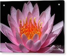 Water Lily On Fire Acrylic Print by Sabrina L Ryan