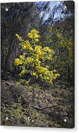 Wattle Tree - Canberra - Australia Acrylic Print by Steven Ralser