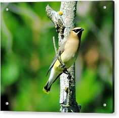 Wax Wing In A Small Branch  Acrylic Print by Jeff Swan