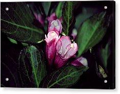 Weigela Florida Dark Horse Pink Flowering Shrub Acrylic Print by Laura Pineda