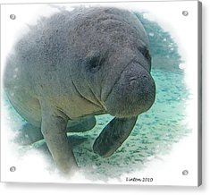 West Indian Manatee Acrylic Print by Larry Linton
