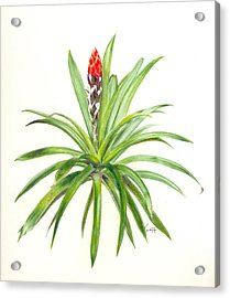 West Indian Tufted Air Plant Acrylic Print by Penrith Goff