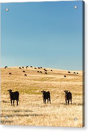 Western Herd Of Cattle Acrylic Print by Todd Klassy
