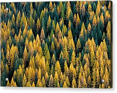 Western Larch Forest Acrylic Print by Leland D Howard