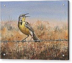 Western Meadowlark Acrylic Print by Sam Sidders