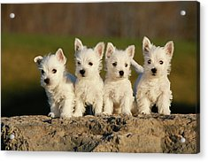 Westies On The Rock Acrylic Print by Celso Mollo Photography