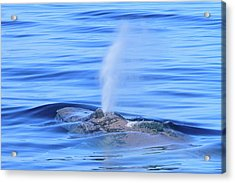Whale Breath  Acrylic Print by Shoal Hollingsworth