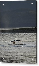 Whale In Alaskan Waters Acrylic Print by Don Wolf