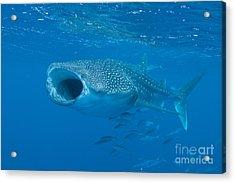 Whale Shark, Ari And Male Atoll Acrylic Print by Mathieu Meur