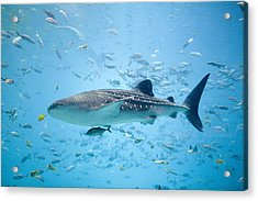 Whale Shark Swimming In Aquarium Acrylic Print by Stephen Marks