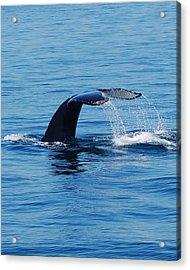 Whales Tale Acrylic Print by Lisa Kane