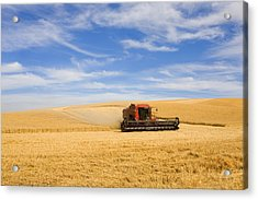 Wheat Harvest Acrylic Print by Mike  Dawson