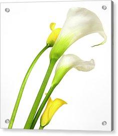 White Arums In Studio. Flowers. Acrylic Print by Bernard Jaubert