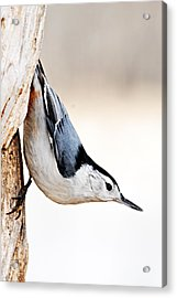 White-breasted Nuthatch Acrylic Print by Larry Ricker