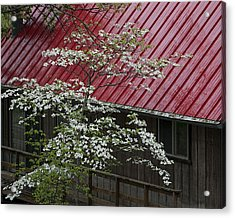 White Dogwood In The Rain Acrylic Print by Mitch Spence