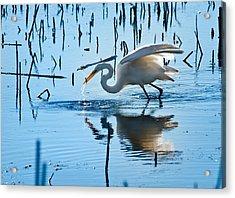 White Egret At Horicon Marsh Wisconsin Acrylic Print by Steve Gadomski