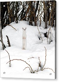 White Ermine Acrylic Print by Leland D Howard