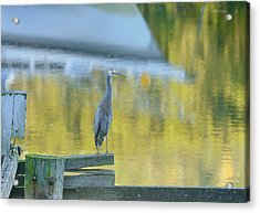 White Faced Heron With Reflections Acrylic Print by Barry Culling