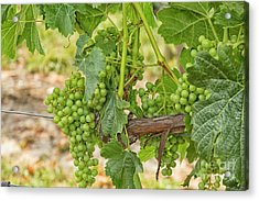 White Grapes Hanging In A Vineyard Acrylic Print by Patricia Hofmeester