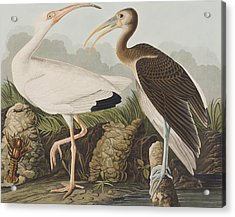 White Ibis Acrylic Print by John James Audubon