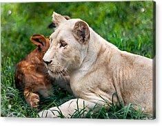 White Lion Cub Acrylic Print by Jenny Rainbow