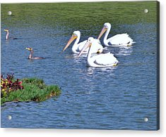 White Pelicans Acrylic Print by Martha Ayotte