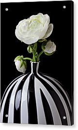 White Ranunculus In Black And White Vase Acrylic Print by Garry Gay