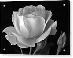 White Rose Acrylic Print by Terence Davis