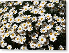 White Summer Daisies Acrylic Print by Christine Till