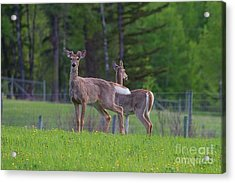 White Tail Deer Acrylic Print by Naman Imagery