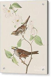 White Throated Sparrow Acrylic Print by John James Audubon