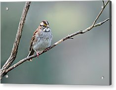 White Throated Sparrow Acrylic Print by Laura Mountainspring
