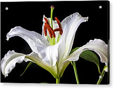 White Tiger Lily Still Life Acrylic Print by Garry Gay