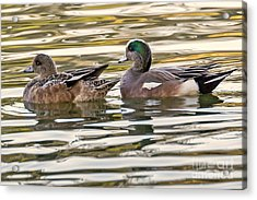 Wigeon Couple Acrylic Print by Kate Brown