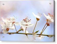 Wild Cherry Blossom Acrylic Print by Jacky Parker