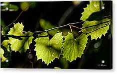 Wild Grape Leaves Acrylic Print by Christopher Holmes