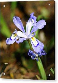 Wild Iris Acrylic Print by Marty Koch