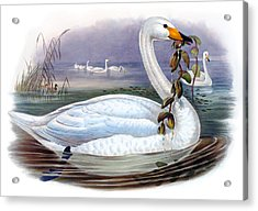 Wild Swan Antique Bird Print The Birds Of Great Britain Acrylic Print by Joseph Wolf - HC Richter