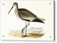 Willet Acrylic Print by English School