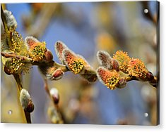 Willow Buds Acrylic Print by Donna Kennedy