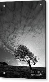 Windswept Winter Blackthorn Tree Acrylic Print by James Brunker