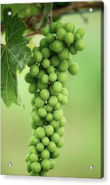 Wine Before Picture Acrylic Print by Lisa Knechtel