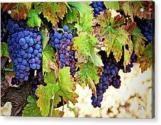 Wine Country - Napa Valley California Photography Acrylic Print by Melanie Alexandra Price