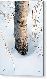 Winter Birch Acrylic Print by Bill Morgenstern