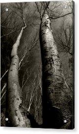 Winter Birch Acrylic Print by Kim Zier