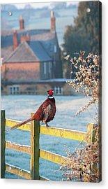 Winter Pheasant Acrylic Print by Tim Gainey