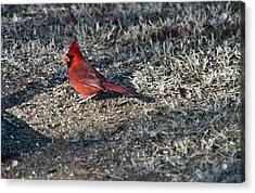 Winter Redbird Acrylic Print by Douglas Barnett