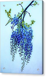 Wisteria Acrylic Print by Chris Lord